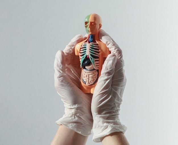 의사는 의료 내부 장기와 d 피부 없는 인간 모델을 들고 흰 장갑에 손을 ...