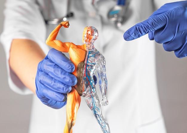 피부 순환 및 근육 시스템이 없는 인체 d 모델을 가리키는 의사 손