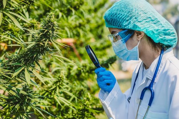 돋보기를 사용하는 의사 과학자는 약물 치료에 thc 또는 cbd를 사용하기 위해 sativa cannabis 식물 나무 근접 촬영 잎 새싹에 대한 연구를 연구합니다.