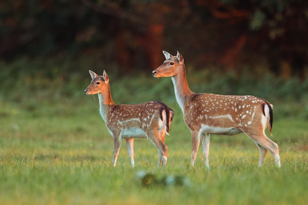 Doe and fawn fallow deer, dama dama, in autumn colors in last sunrays.