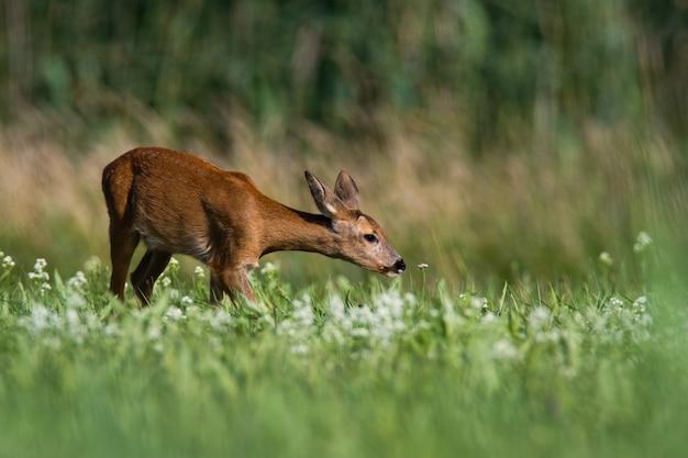 エレガントなノロジカdoe首を伸ばし、咲く草原で花を嗅ぐ