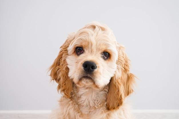 犬。灰色の壁にアメリカンコッカースパニエルの子犬のクローズアップ。