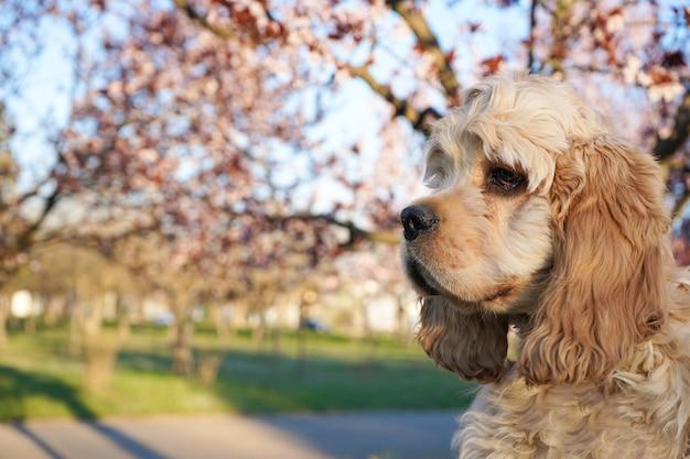 犬。公園でアメリカンコッカースパニエルの子犬。閉じる。テキスト用のスペース。