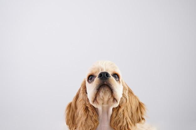 犬。灰色の壁にアメリカンコッカースパニエルの子犬、クローズアップ。テキスト用のスペース