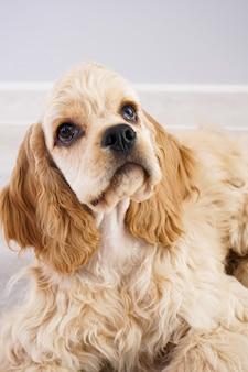 Собака. щенок американского кокер-спаниеля на серой стене, крупный план.