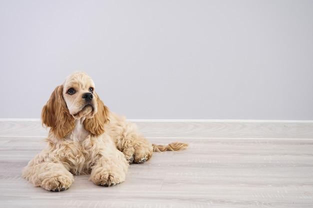 犬。テキスト用のスペースがある灰色の壁にアメリカンコッカースパニエルの子犬