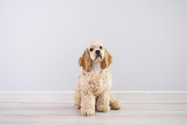 犬。灰色の壁にアメリカンコッカースパニエルの子犬