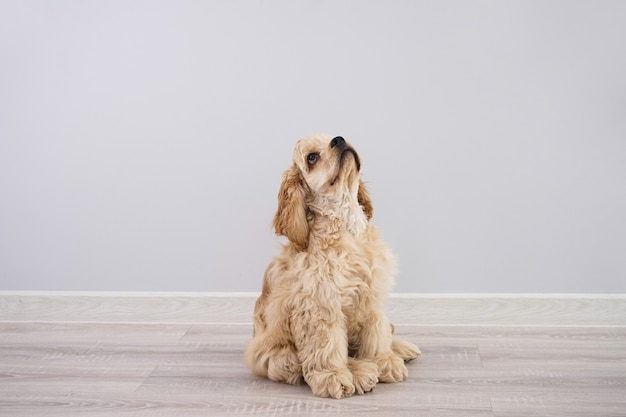 犬。灰色の壁に座っているアメリカンコッカースパニエルの子犬。