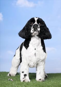 Собака: американский кокер спаниель, стоящий на траве против голубого неба