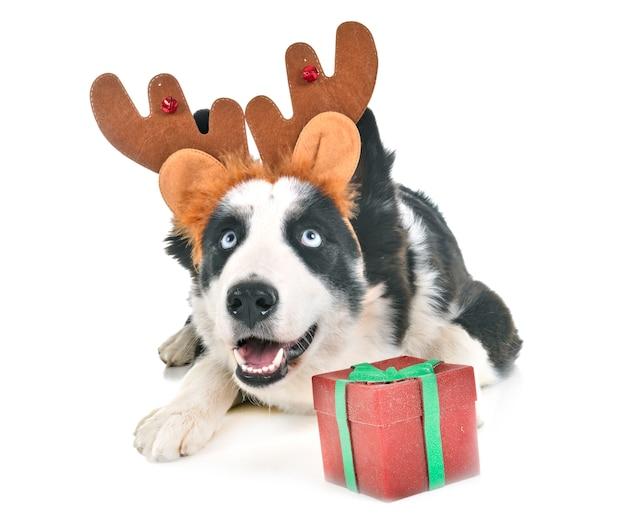 Собака и рождество в студии