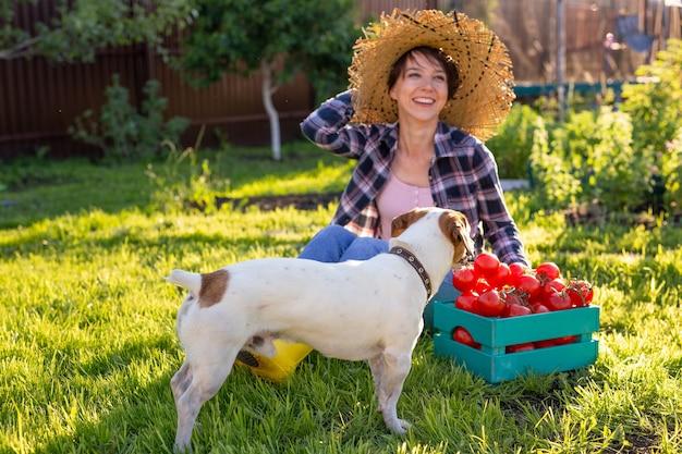 개와 화창한 여름 날에 토마토 그녀의 수확 상자 밀짚 모자에 열심히 일하는 여자 정원사