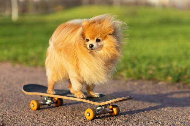 犬とスポーツ。スケートボードに乗っているクールなポメラニアンスピッツ。創造的なペット。訓練、動物の服従。