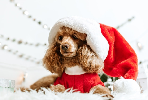 Dog apricot poodle in new year decorations ready for christmas party