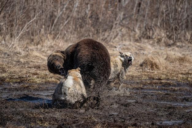 Dog attacks and bites a bear