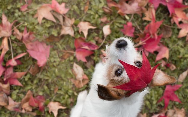 Dog autumn leaves頭の上に赤い葉が付いているポートレートジャックラッセル