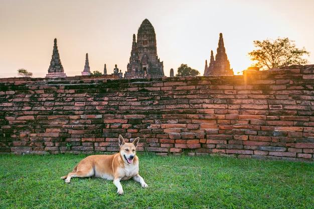 Dog at ayutthaya historical park, wat chaiwatthanaram buddhist temple in thailand.