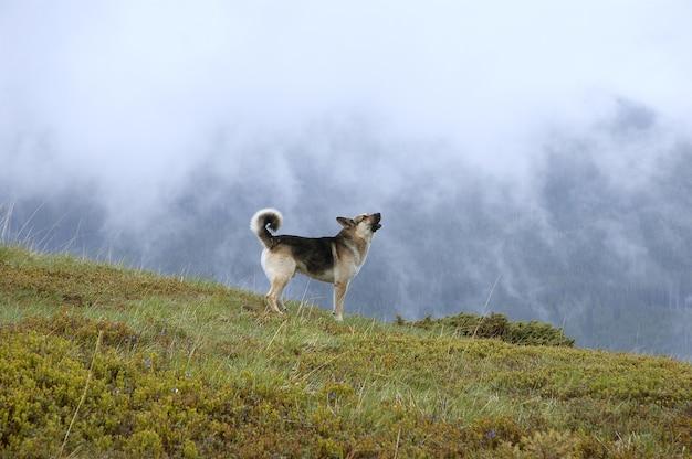 山を背景に吠える犬。山の霧のある風景。山の呼び声