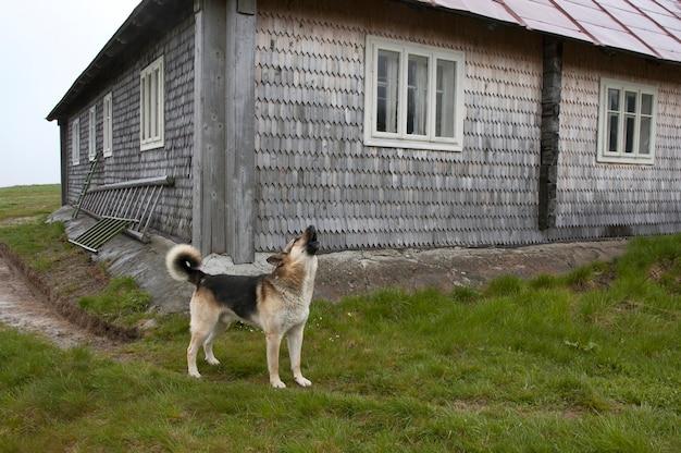 Собака лает возле деревянного дома в дождливую погоду