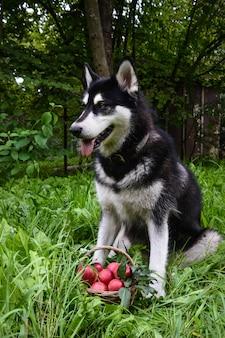 Dog and basket of apple