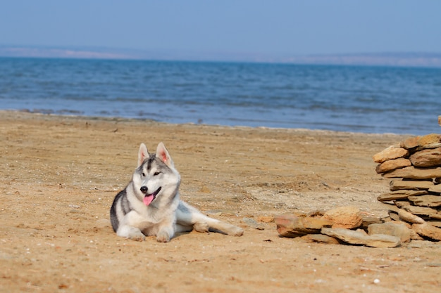 Dog on the beach. siberian husky enjoying sunny day near the sea.