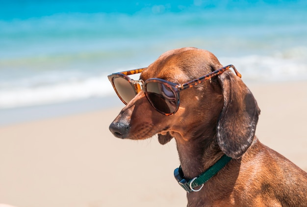 Dog in the beach with sunglasses