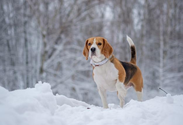 Собака бигль на прогулке в заснеженном лесу в зимний день