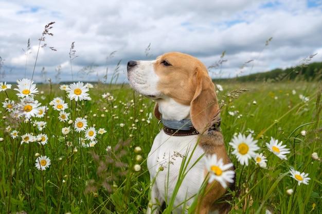Собака бигль на прогулке летом на зеленом лугу с дикими белыми ромашками