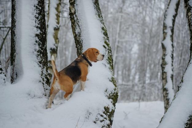 하얀 눈 더미와 눈 덮인 나무가있는 겨울 숲에서 산책하는 개 비글
