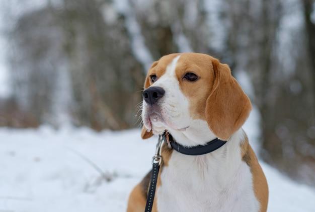 白い雪の吹きだまりと雪に覆われた木々のある冬の森を散歩する犬のビーグル犬