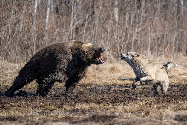 Dog and bear fighting in the forest