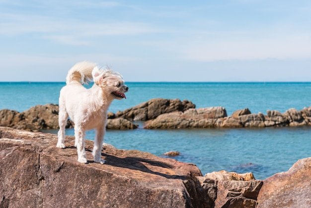 Dog beige color mixed breed with shih-tzu, pomeranian and poodle on the rocky beach