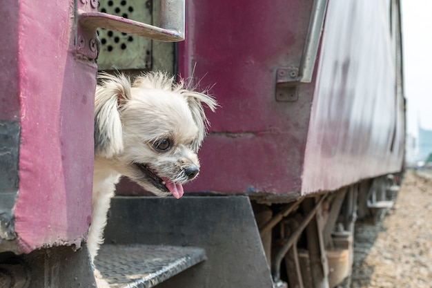 Dog beige color mixed breed with shih-tzu, pomeranian and poodle travel by vintage railway