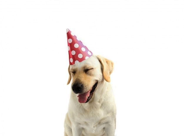 Dog birthday or new year party with coral polka dot party hat.