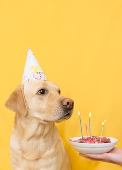 Dog birthday party. labrador on a yellow wall with a bowl of meat and candles.
