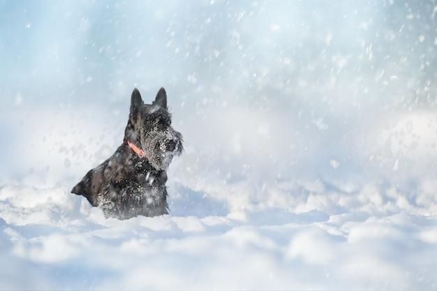 Собака черный щенок скотч-терьера во время снегопада на прогулке в зимний день