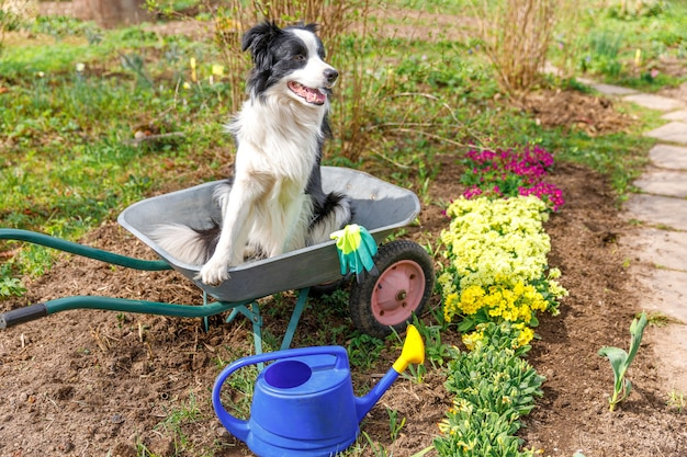 정원사 심기로 정원 장면에서 수레 정원 카트에 앉아 개 보더 콜리