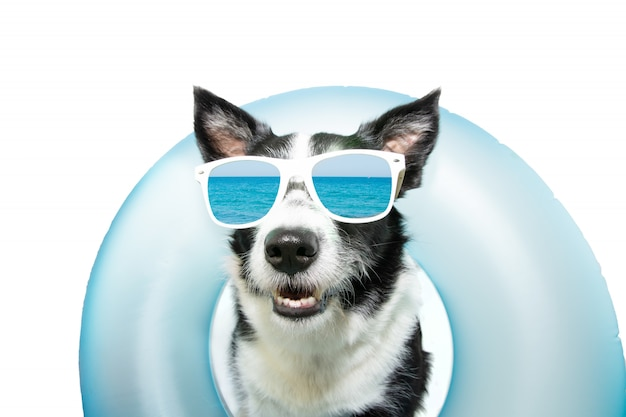Dog border collie summer going on vacation inside of blue inflatable float pool and wearing sunglasses.