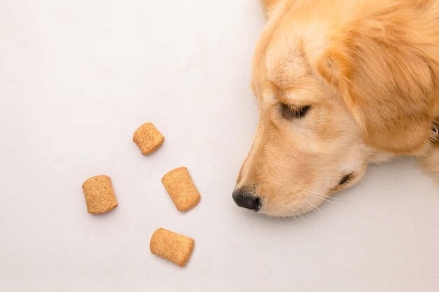 Dog bored with food or sick concept. brown dog laying on the floor and looking to dog treat. top view