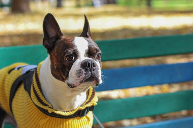 Dog boston terrier in yellow sweater sitting on bench in the par