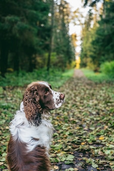 Dog bread english springer spaniel sits in autumn forest. dog is alone from the back, sitting and waiting for the owner.