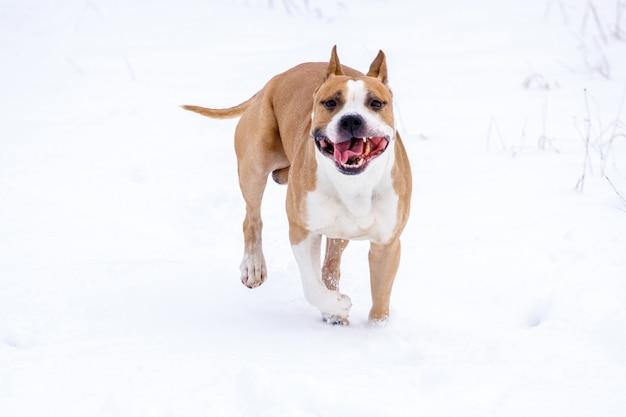 犬種のアメリカンスタッフォードシャーテリアが雪の中を駆け抜けます。高品質の写真