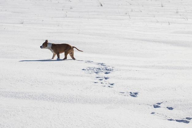개 품종 아메리칸 스태퍼드셔 테리어(american staffordshire terrier)는 겨울에 눈 속을 걷습니다. 고품질 사진
