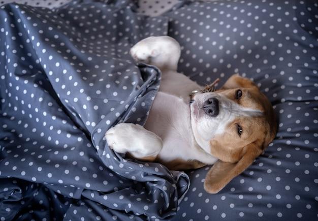 개 품종 비글 재미 있은 침대에 누워 담요 아래 베개에 발