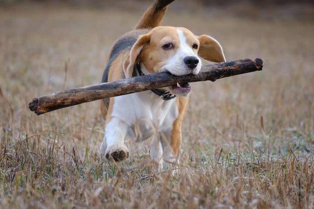 Собака породы бигль играет с палкой во время прогулки