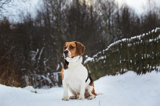 겨울 숲에 앉아 개 품종 비글