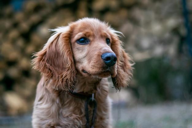 Dog breed cocker spaniel closeup on blurred