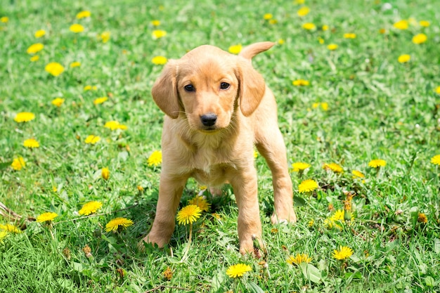 Dog breed cocker spaniel stands on grass among dandelion flowers_