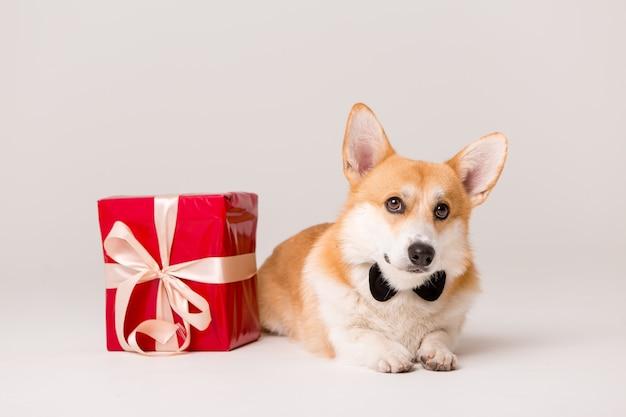 白地に赤いギフトボックスとネクタイでコーギー犬種