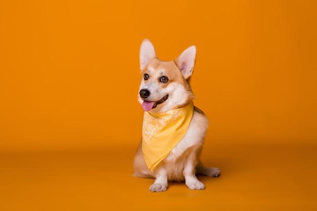 Dog breed corgi in a yellow bandana on orange