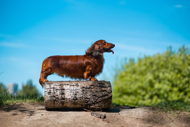 Dog breed dachshund in the forest in a sunny clearing.